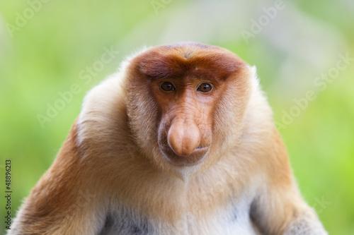 Foto op Plexiglas Aap A proboscis monkey, Sandakan.