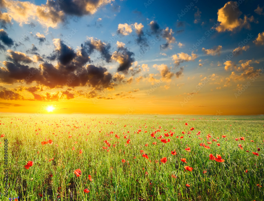 Fototapety, obrazy: field with green grass and red poppies