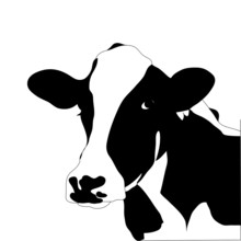 Portrait Big Black And White Cow Vector