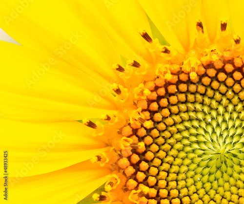 Sunflower - 48933425