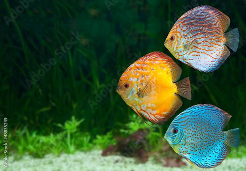 Fotografie, Obraz  Three bright discus in aquarium