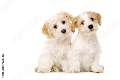 Two puppies sat isolated on a white background Wallpaper Mural