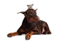Doberman Dog With A Kitten On Its Head