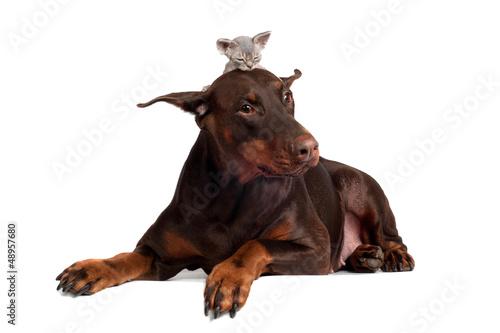 Fotografia, Obraz doberman dog with a kitten on its head