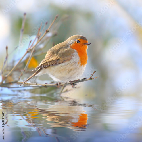 Photo  The European Robin (Erithacus rubecula).