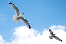 Two Seagulls Soaring Against A...
