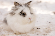White Rabbit Sitting In The Snow