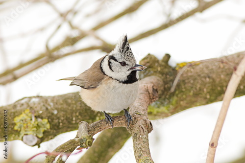 Canvas Print - crested tit