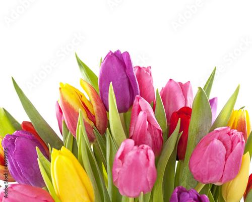 Fototapety, obrazy: Tulip flowers