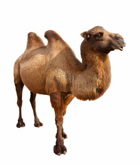 Fototapeta bactrian camel. Isolated on white
