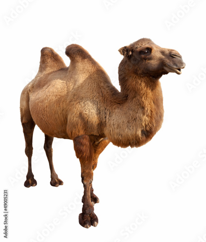 In de dag Kameel bactrian camel. Isolated on white