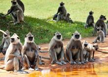 Monkey On Sri Lanka