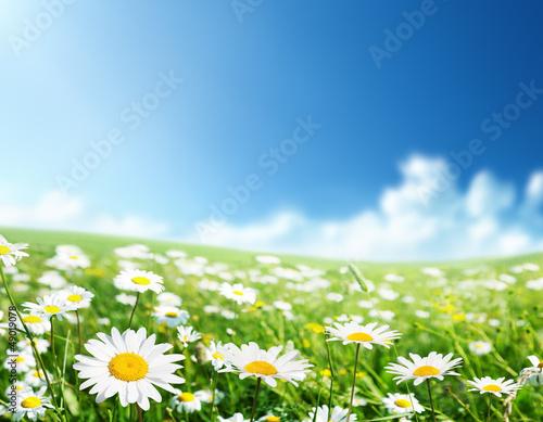 Foto-Schiebegardine ohne Schienensystem - field of daisy flowers (von Iakov Kalinin)
