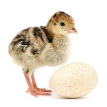 Chicken Turkey Isolated On Whi...
