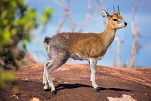 Klipspringer On Rock. Serenget...