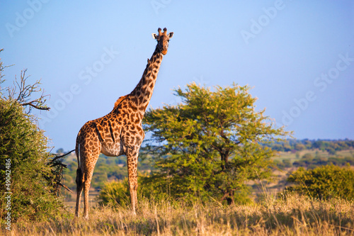 Giraffe on savanna. Safari in Serengeti, Tanzania, Africa Poster