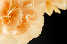 Close Up Image Of Orange Carnation On Black Background