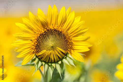 Foto-Schiebegardine ohne Schienensystem - Sunflowers macro detail. (von SIRIPONG JITCHUM)