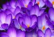 Leinwandbild Motiv spring crocus