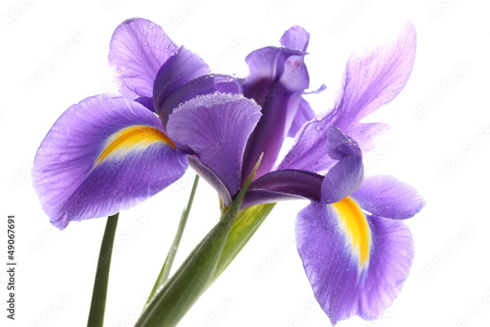 Fototapeta Purple iris flower, isolated on white