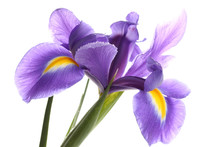 Purple Iris Flower, Isolated O...