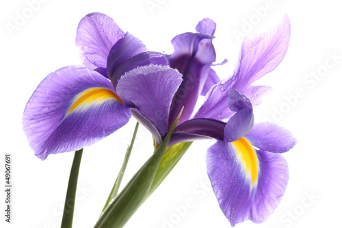 Purple iris flower, isolated on white