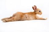 Fototapeta Zwierzęta - bunny