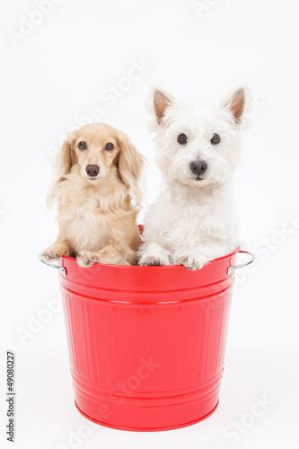 Fotografie, Obraz  バケツに入った犬