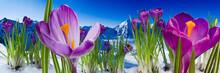 Springtime In Mountains - Crocus Flowers In Snow
