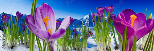 Foto op Canvas Krokussen Springtime in mountains - crocus flowers in snow
