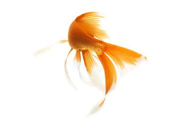 Złota Ryba Koi