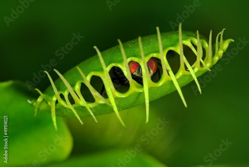 Fotografie, Obraz  Venus flytrap (Dionaea muscipula) with trapped fly