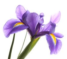 Purple Iris Flower, Isolated On White