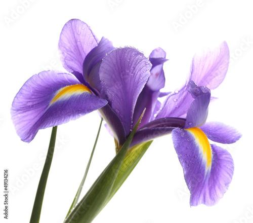 Poster Iris Purple iris flower, isolated on white