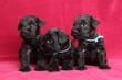 Leinwandbild Motiv Miniature Schnauzer puppies