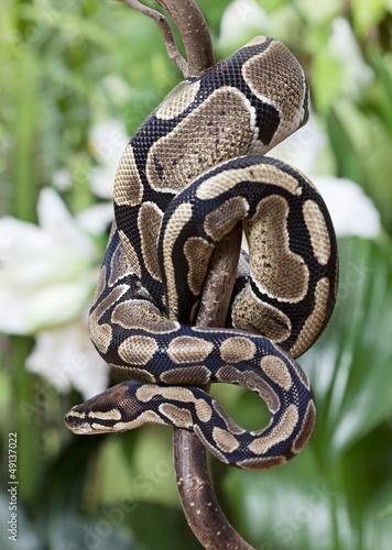 Fotografía  Royal Python snake
