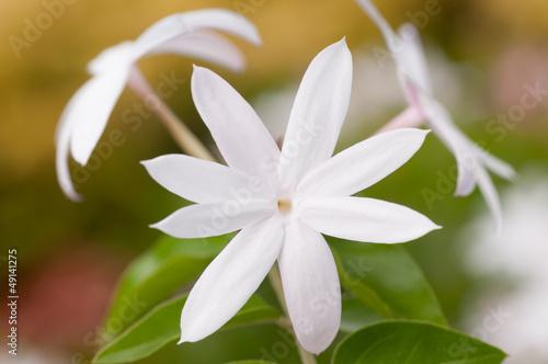 Fotografie, Obraz  White jasmine flower extreme close up
