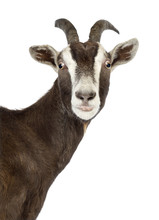 Close-up Of A Toggenburg Goat ...