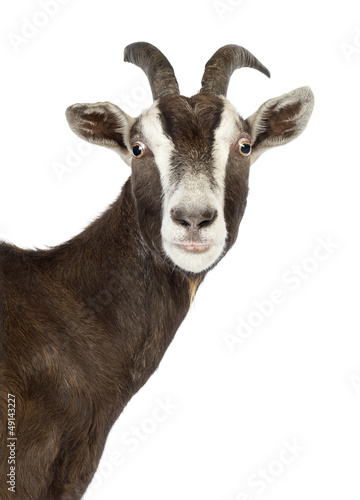 Close-up of a Toggenburg goat looking at camera
