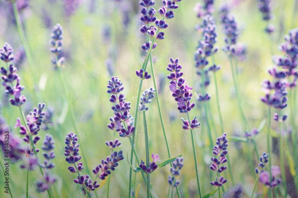Fototapeta Lavender