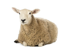 Sheep Lying Against White Background