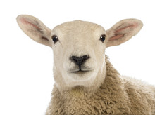 Close-up Of A Sheep's Head