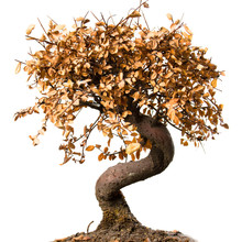 Dead Bonsai Tree