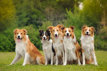Group Of Five Happy Dogs Borde...