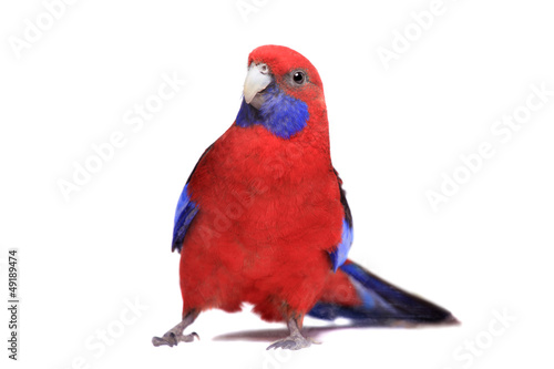 Photo  Crimson Rosella (Platycercus elegans) on white background.