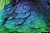 Fototapeta Zwierzęta - pióro tło kolor