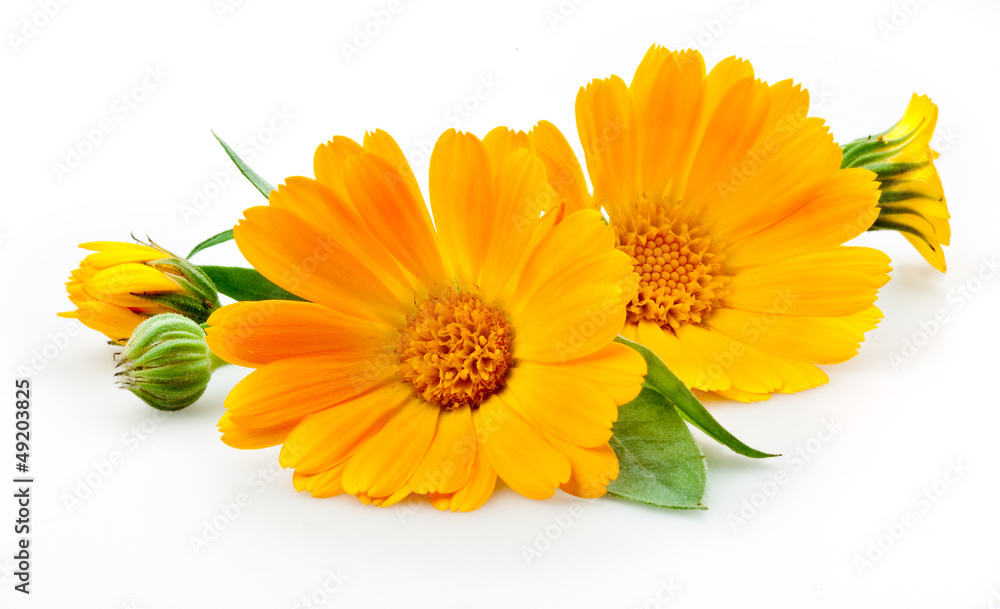 Fototapety, obrazy: Calendula. flowers with leaves isolated on white
