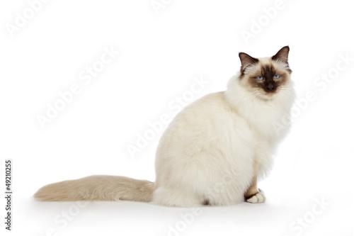portrait véritable chat Sacré de Birmanie Tableau sur Toile