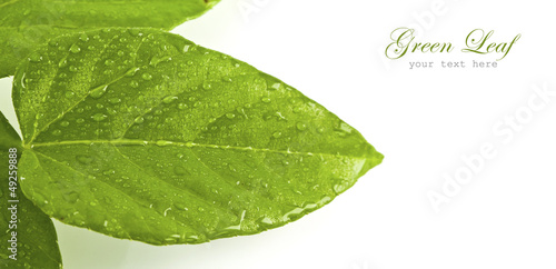 Fototapety, obrazy: green leaf with drops of water on white background