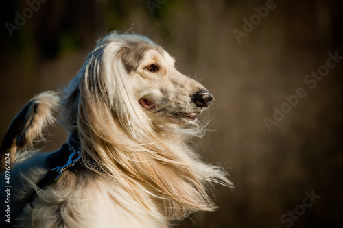afghan dog Canvas Print
